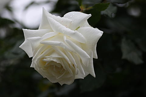 524rosewhite1