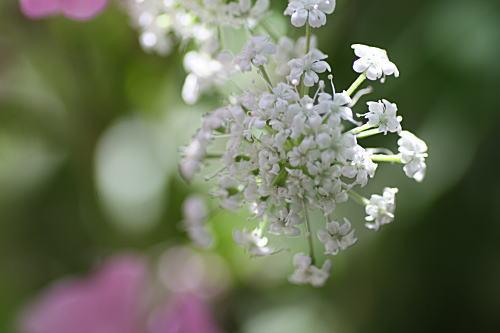 428raceflower