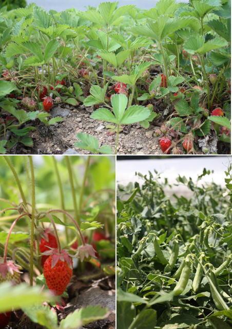 531strawberry